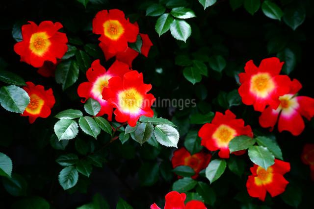 バラ・カクテルの花の写真素材 [FYI01473488]
