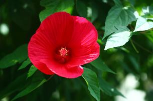 大輪のアメリカフヨウの花の写真素材 [FYI01473521]