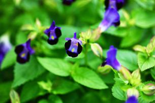 トレニア 青い花の写真素材 [FYI01473551]