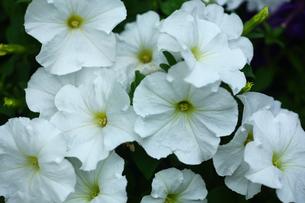 白いペチュニアの花の写真素材 [FYI01473555]