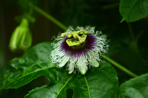 温室で咲くトケイソウの花の写真素材 [FYI01473563]
