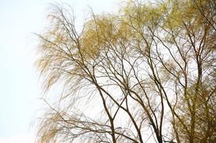 寒空に芽吹く柳の写真素材 [FYI01473633]