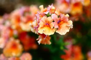 金魚草のカリヨンの花の写真素材 [FYI01473652]