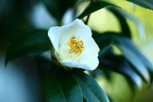 藪椿の白い花の写真素材 [FYI01473661]