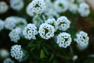 アリッサムの白い花の写真素材 [FYI01473670]