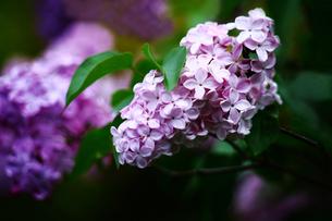 ライラックの花の写真素材 [FYI01473707]