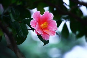 椿,絞り入り椿の花の写真素材 [FYI01473754]