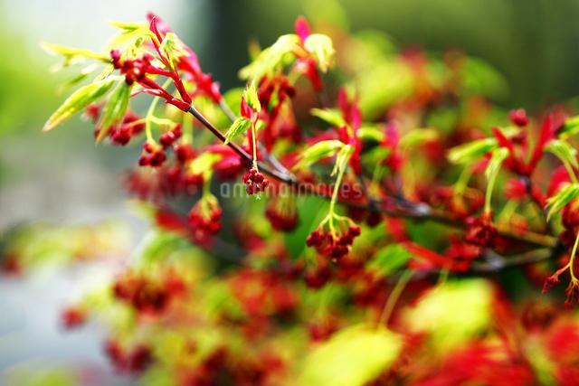 モミジの花の写真素材 [FYI01473768]