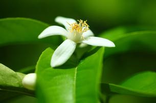 果実 ミカンの花の写真素材 [FYI01473770]