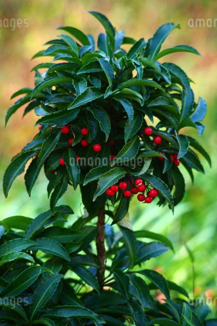 マンリョウの赤い実の写真素材 [FYI01473778]
