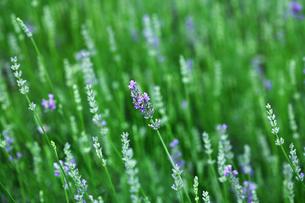 ハーブ ラベンダーの花の写真素材 [FYI01473802]