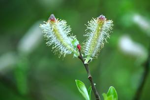 振袖柳の花の写真素材 [FYI01473867]