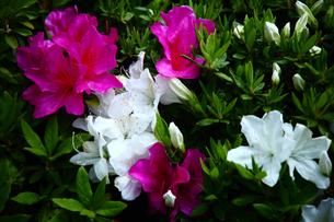 紅白のオオムラサキツツジの花の写真素材 [FYI01473885]