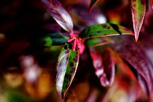 アセビの冬芽の写真素材 [FYI01473886]