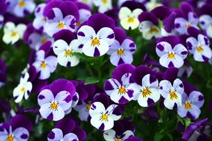 白と紫色のビオラの写真素材 [FYI01473898]