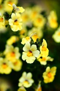金魚草のカリヨンの花の写真素材 [FYI01473909]