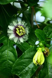 温室で咲くトケイソウの花の写真素材 [FYI01473921]