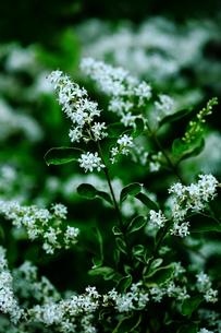 白いシルバープリペットの花の写真素材 [FYI01473963]