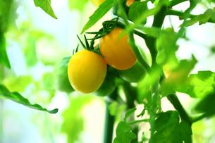 野菜 黄色いミニトマトの写真素材 [FYI01473967]