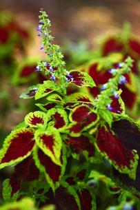 コリウスの青い花の写真素材 [FYI01473968]