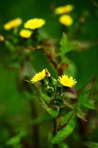 ハルノノゲシの花の写真素材 [FYI01473978]