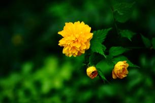 八重山吹の開花の写真素材 [FYI01473998]