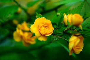 ヤマブキ 八重の花の写真素材 [FYI01474083]