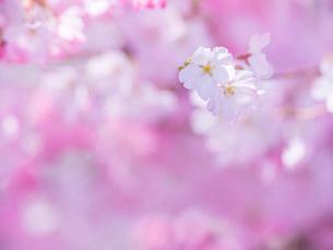 桜アップの写真素材 [FYI01474152]