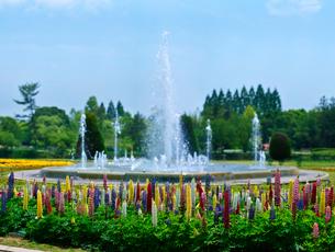 ルピナス (昇り藤)と噴水の写真素材 [FYI01474161]