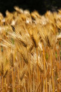 麦秋(六条大麦)の写真素材 [FYI01474199]