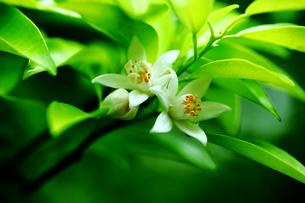 ユズの花の写真素材 [FYI01474230]