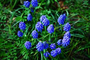 ムスカリの花の写真素材 [FYI01474234]