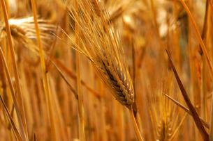 麦秋(六条大麦)の写真素材 [FYI01474270]