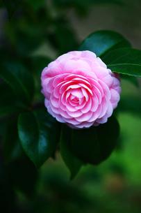 椿,乙女椿の花の写真素材 [FYI01474329]