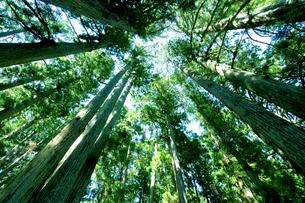 高野山の大杉の写真素材 [FYI01474517]