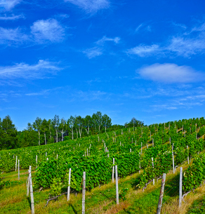 ブドウ畑と青空の写真素材 [FYI01474651]