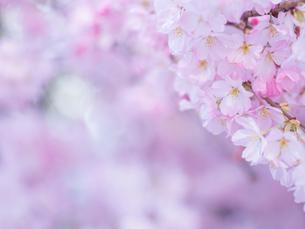 桜アップの写真素材 [FYI01474665]