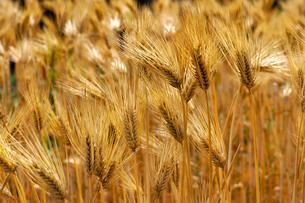 麦秋(六条大麦)の写真素材 [FYI01474786]