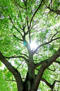 新緑の樫の木の写真素材 [FYI01474890]