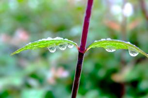 若葉に雨の雫の写真素材 [FYI01475322]
