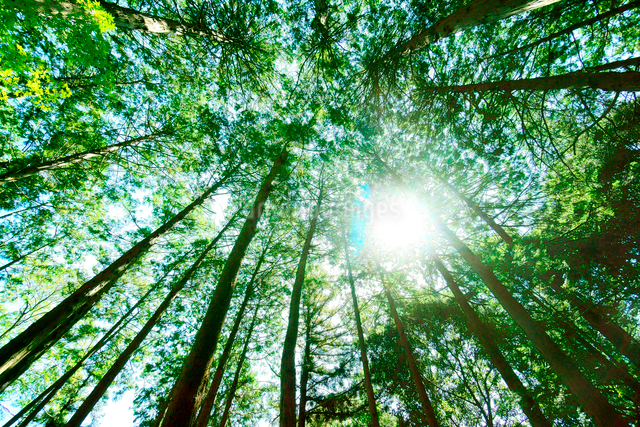 ヒノキの林の写真素材 [FYI01475442]