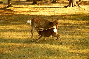 母鹿の乳を飲む子鹿の写真素材 [FYI01475453]