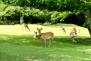 奈良公園の鹿の写真素材 [FYI01475498]
