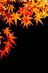 紅葉のモミジの写真素材 [FYI01475649]