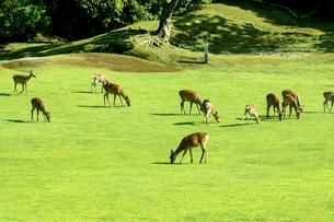 奈良公園の鹿の写真素材 [FYI01475729]