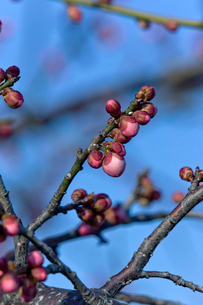 梅の芽吹きの写真素材 [FYI01475817]