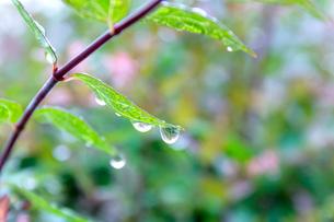 若葉に雨の雫の写真素材 [FYI01476078]