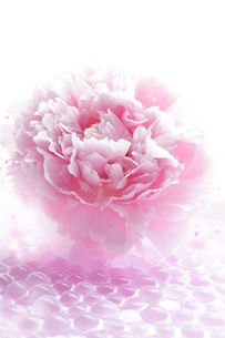 ピンクの芍薬の花と透明のゼリーの写真素材 [FYI01476334]
