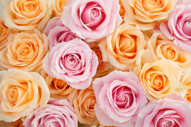 一面のピンクとオレンジ色のバラの花の写真素材 [FYI01476587]