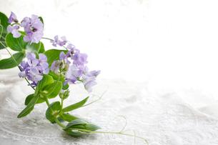 細かな刺繍のある布の上の薄紫色の宿根スイートピーの写真素材 [FYI01476684]